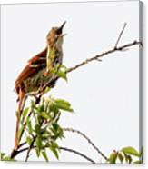 Brown Thrasher - I Am Here Canvas Print