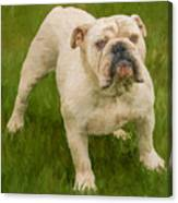 Bruce The Bulldog Canvas Print