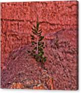 Bryce Canyon Pine Tree Canvas Print