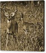 Buck And Doe In Sepia Canvas Print