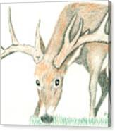 Buck Feeding Canvas Print