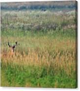 Buck In Field Canvas Print