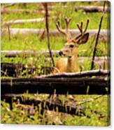 Buck In Velvet Canvas Print