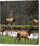 Buck In Wilderness Canvas Print