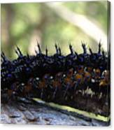 Buckeye Caterpillar Canvas Print