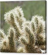 Buckhorn Cholla Canvas Print