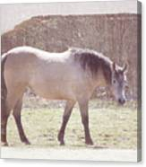 Buckskin Horse  Canvas Print