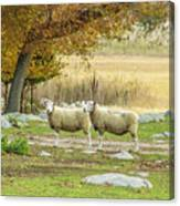 Bucolic Sheep In Mystic  Canvas Print