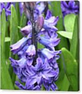 Budding And Flowering Purple Hyacinth Flower Canvas Print