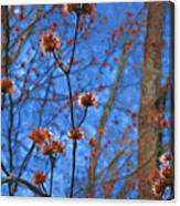 Budding Maples Canvas Print