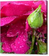 Buds And Drops Canvas Print