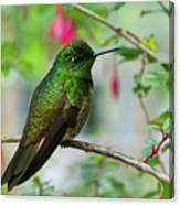 Buff-tailed Coronet Canvas Print