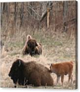 Buffalo And Calf Canvas Print