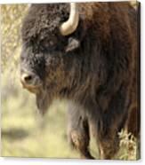 Buffalo Bull Canvas Print