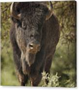 Buffalo Bull II Canvas Print