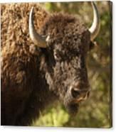Buffalo Cow Canvas Print
