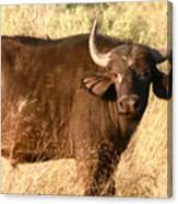 Buffalo Encounter Canvas Print