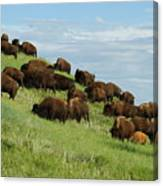 Buffalo Herd Canvas Print