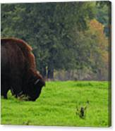 Buffalo In Spring Grass Canvas Print