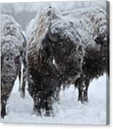 Buffalo In The Blowing Snow Canvas Print