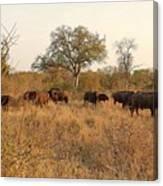 Buffalo In The Timbavati Canvas Print