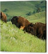 Buffalo On Hillside Canvas Print