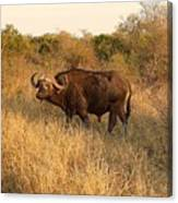 Buffalo On Safari Canvas Print