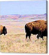 Buffalo Range In Kansas Canvas Print