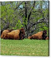 Buffalo Resting In A Field Canvas Print