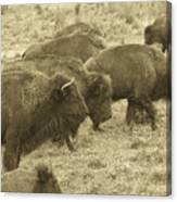 Buffalo Roaming Canvas Print