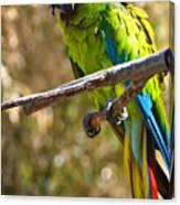 Buffon's Macaw Canvas Print