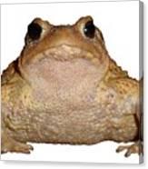 Bufo Bufo European Toad Isolated Canvas Print