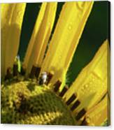 Bug On Yellow Sunflower Canvas Print