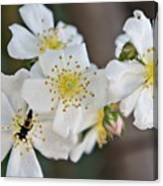 Bugaboo Apple Blossoms Canvas Print