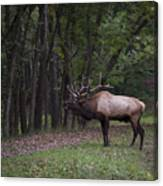 Bull Elk Bugle Canvas Print