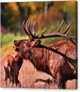 Bugling Elk In Autumn Canvas Print