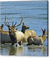 Bugling Elk In Lake Canvas Print
