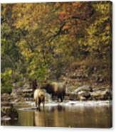 Bull And Cow Elk In Buffalo River Crossing Canvas Print