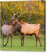 Bull And Cow Elk - Rutting Season Canvas Print