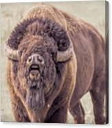 Bull Bison Canvas Print