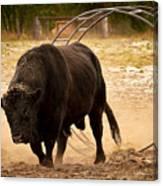 Bull Dust Canvas Print