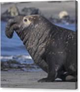 Bull Elephant Seal Canvas Print
