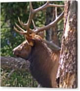 Bull Elk 2 Canvas Print