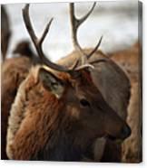 Bull Elk At Hardware Ranch 2 Canvas Print