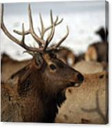 Bull Elk At Hardware Ranch Canvas Print