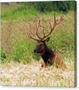 Bull Elk At Rest Canvas Print