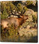 Bull Elk Bugling Among The Rocks Canvas Print