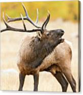 Bull Elk Bugling In The Fall Canvas Print