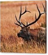 Bull Elk In A Field Canvas Print