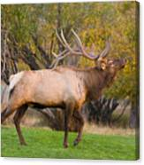 Bull Elk In Rutting Season Canvas Print